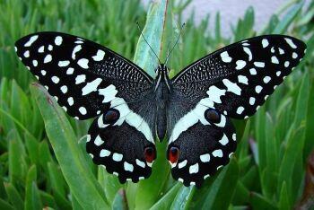 Citrus Swallowtail (Papilio demodocus), Bloubergrant, Cape Town